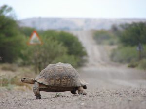 Tortoise on road: slow journey